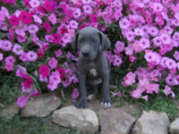 Sparky Female AKC Great Dane $1250