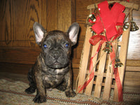 Landon Male French Bulldog (Full Price $2700.00) Deposit