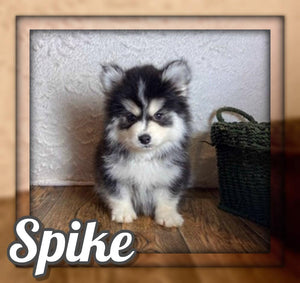 Spike Male Pomsky $1250