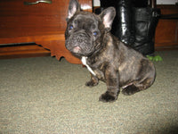 Lucas Male French Bulldog $2300