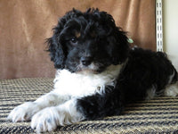 Luke Male Cavapoo $1450