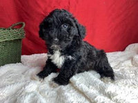 Ace Male Goldendoodle (Full Price $1000.00) Deposit