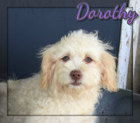 Dorothy Female AKC Havanese  (Full Price $750.00) Deposit