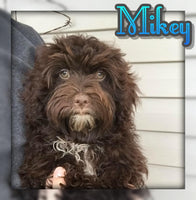 Mikey Male AKC Havanese  (Full Price $900.00) Deposit