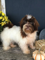 Tonya Female AKC Havanese  (Full Price $900.00) Deposit
