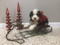 Jax Male Mini Bernedoodle (Full Price $4100.00) Deposit