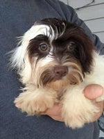 Misty Female AKC Havanese  (Full Price $900.00) Deposit