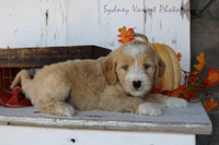 Harley Male Mini Goldendoodle $1050