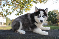 Zachary Male ACA Husky $450