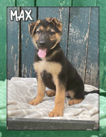 Max Male AKC German Shepherd $1495