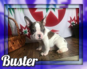 Buster Male 7/8 Frenchton $1800