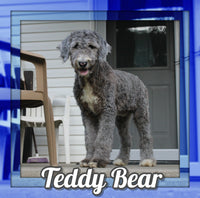 Teddy Bear Male Sheepadoodle $600