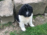 Faith Female Newfoundland $975