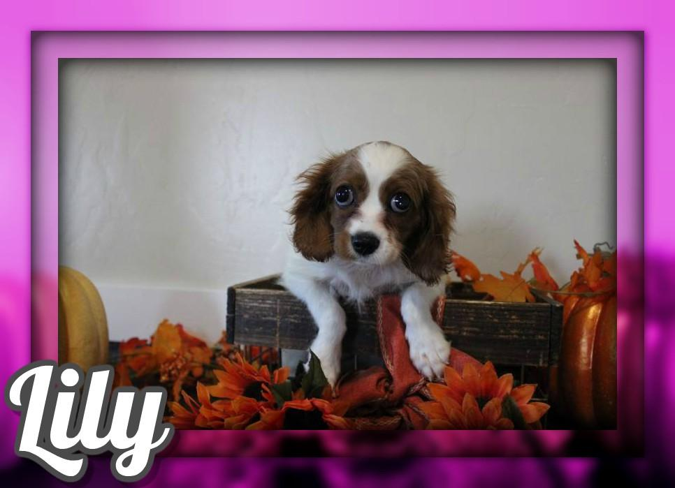 Lily Female King Charles Cavalier $650