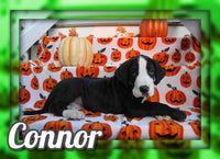 Connor Male AKC Great Dane $1100