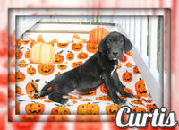 Curtis Male AKC Great Dane $850