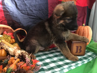 Bam Male German Shepherd (Full Price $600) Deposit