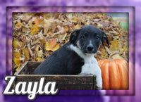 Zayla Female Australian Cur Mix $325