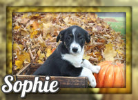 Sophie Female Australian Cur Mix $325