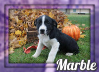 Marble Female Australian Cur Mix $325