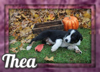 Thea Female Australian Cur Mix $325