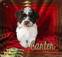 Carter Male AKC Havanese $795