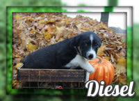 Diesel Male Australian Cur Mix $325