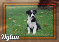 Dylan Male Australian Cur Mix $325