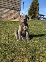 Mac Male AKC Great Dane $2300