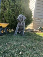 Tommy Male AKC Great Dane $2700