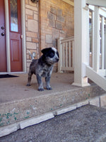 Chase Male Blue Heeler $1000