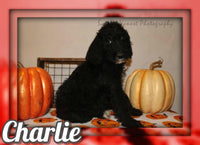 Charlie F2 Male Labradoodle $800