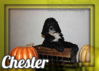 Chester F2 Male Labradoodle $800