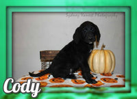 Cody F2 Male Labradoodle $800