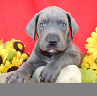 Morgan Male AKC Great Dane $1100