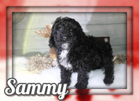 Sammy Male ACA Mini Poodle $500