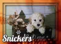 Snickers Male ACA Mini Poodle $900