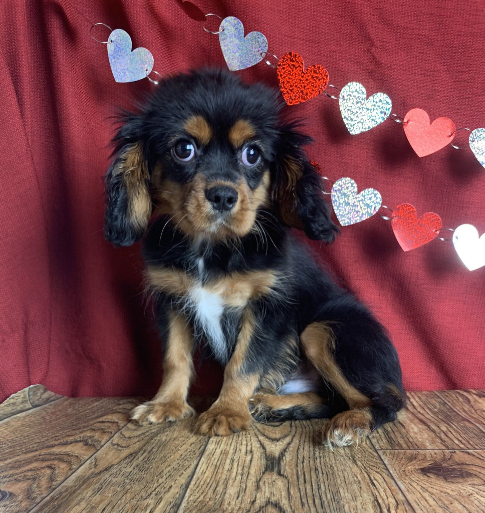 Buster Male Cavalier $600