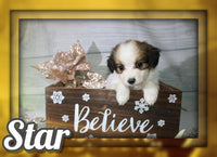 Star Male Papillon $700