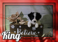 King Male Papillon $700