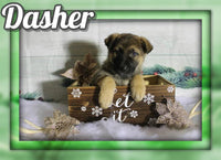 Dasher Male AKC German Shepherd $600