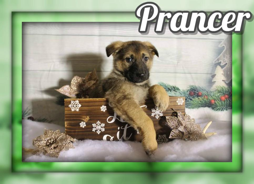 Prancer Male AKC German Shepherd $600