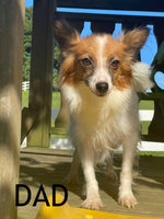 Penny Female ICA Papillon $1450