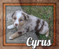Cyrus Male Mini Australian Shepherd $1425