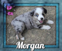 Morgan Male Mini Australian Shepherd $1425