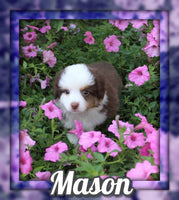 Mason Male Mini Australian Shepherd $999