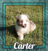 Carter Male Mini Australian Shepherd $1425