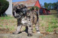 Cyrus Male Aussiedoodle $1099