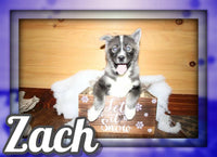 Zach Male Pomsky $1199
