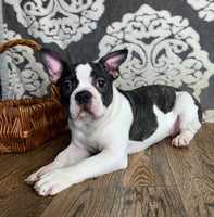 Edgar Male Frenchton $800